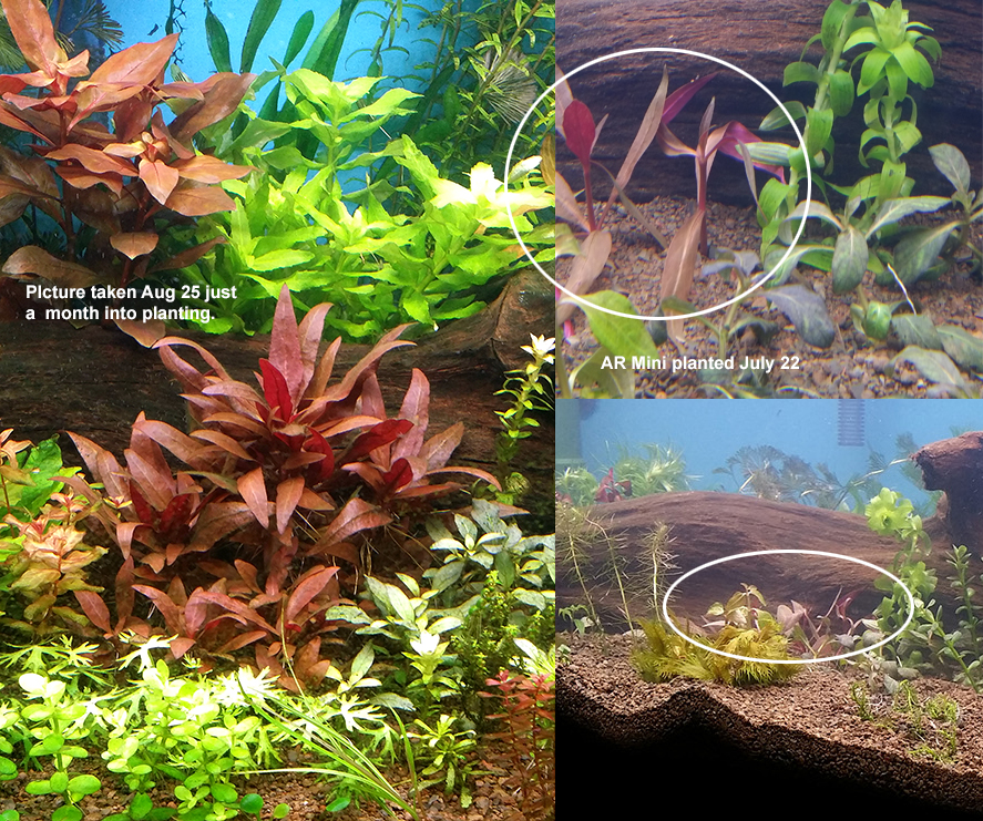 Alternanthera Reineckii Mini Caresheet | Aquatic Mag